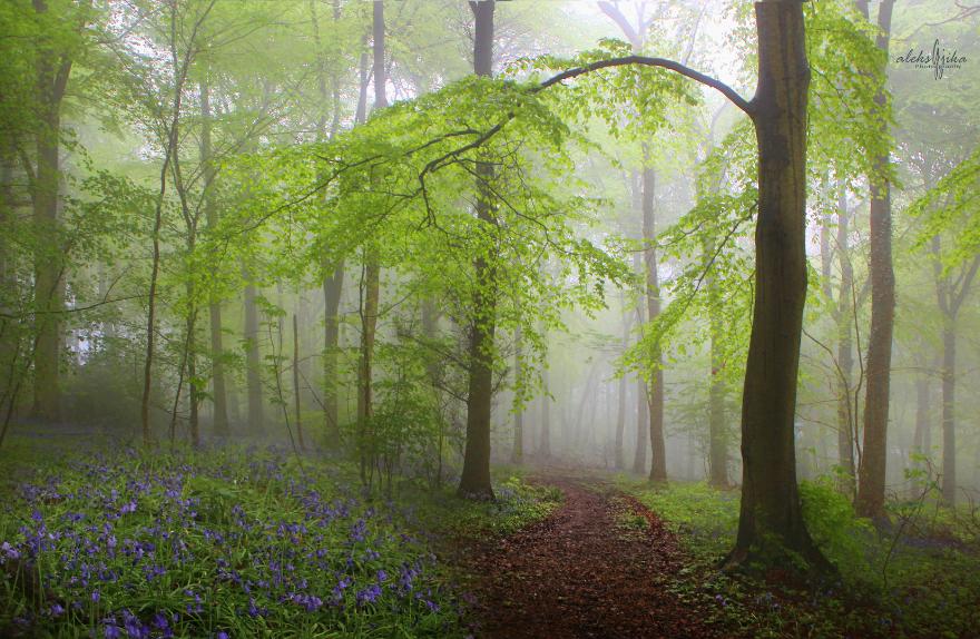 Bluebells & Mist