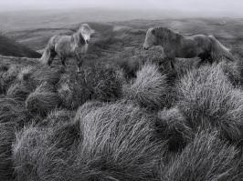 Brecon Ponies