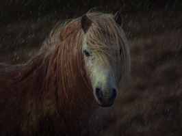 Brecon Pony
