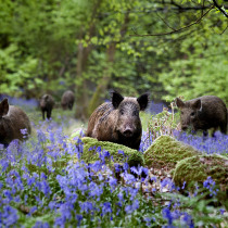 Bluebells and boars in the Forest of Dean