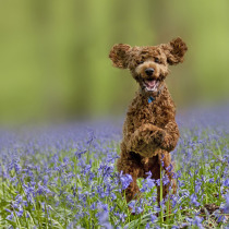 Puppy in the bluebells forest