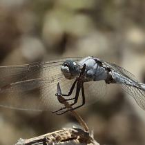 Dragon Fly on a stick