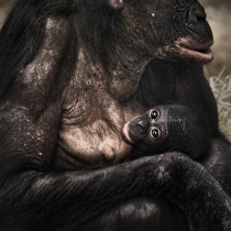 Bonobo mother and her baby
