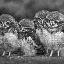 Baby owls snuggled up
