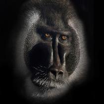 Will Drill Ape Portrait