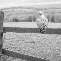 Snowy owl on a fence in the cold day