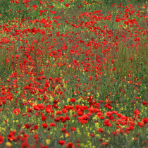 Carpet of Poppies